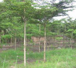Cây bàng Đài Loan – Cây xanh bóng mát cho không gian vườn nhà