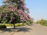 Cây bằng lăng – Cách trồng và chăm sóc bằng lăng xanh tốt trong vườn