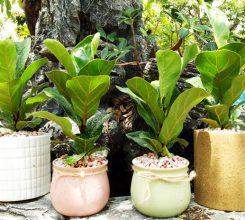 Cách trồng cây bàng Singapore mướt lá mang phong thủy tốt cho ngôi nhà