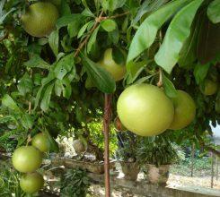 Cây đào tiên – Hướng dẫn cách trồng và chăm sóc cây đào tiên