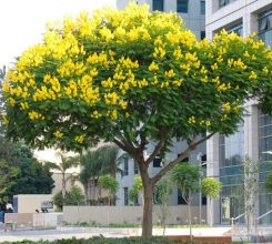 Cây giáng hương – Loài cây quý cho dáng đẹp, hoa thơm khắp sân vườn