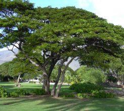 Cây gõ đỏ – Cây gỗ quý ứng dụng trong thiết kế cảnh quan sân vườn