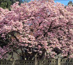 Cách trồng và chăm sóc cây hoa mộc lan trong thiết kế sân vườn