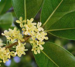 Kỹ thuật trồng cây hoa mộc cho sân vườn tỏa hương ngào ngạt