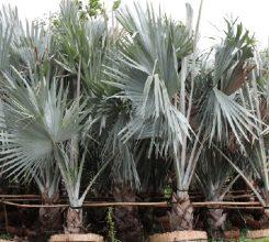 Cây kè bạc – Hướng dẫn cách trồng và chăm sóc cây kè bạc luôn xanh tốt