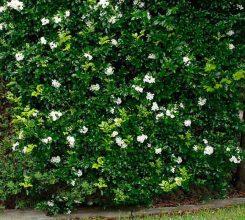 Cây hoa nguyệt quế dáng đẹp hoa thơm tô điểm đẹp cho sân vườn