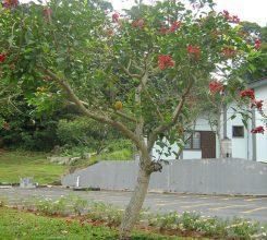Cây Osaka đỏ – Mang cả rừng hoa rực rỡ tô điểm cho cảnh quan sân vườn