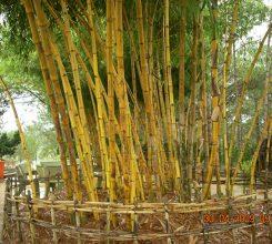 Cây tre vàng sọc – Cây cảnh ngoại thất mang phong thủy tốt