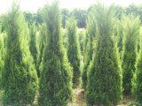 Kỹ thuật trồng cây tùng tháp tạo cảnh quan đẹp cho khuôn viên quanh nhà