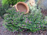 Cây cẩm tú mai – Cây hoa bụi tuyệt đẹp trang trí cho sân vườn