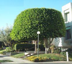 Cây bóng mát trước nhà – Những loại cây bóng mát đẹp trước nhà