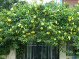 Cây huỳnh đệ – Cây dây leo đẹp trang trí cho sân vườn