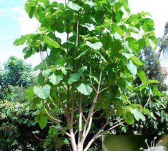Cây tếch – Cách trồng và chăm sóc cây tếch làm đẹp trong sân vườn