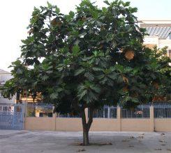 Những loại cây bóng mát ít rụng lá được trồng nhiều nhất hiện nay