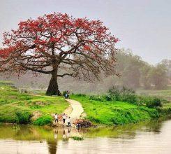 Cây hoa gạo – Cây bóng mát mang vẻ đẹp dân dã của làng quê Việt