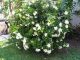 Cây sen đất – Kỹ thuật trồng và chăm sóc hoa sen đất nở đẹp